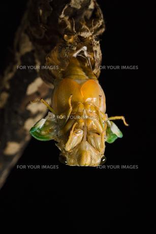 セミの羽化の写真素材 [FYI01173495]