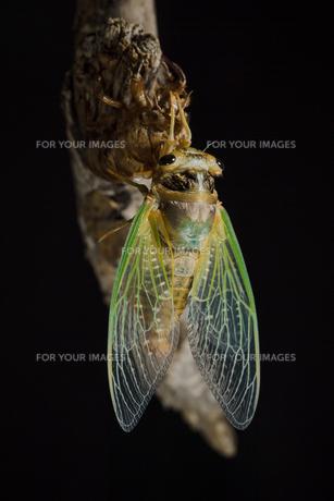 セミの羽化の写真素材 [FYI01173496]