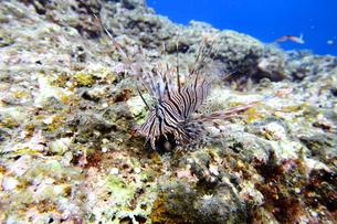 宮古島の海底に住むハナミノカサゴの写真素材 [FYI01173737]