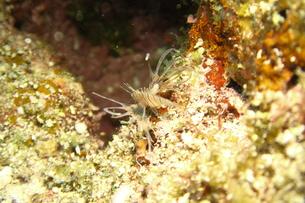 宮古島の海底に住むハナミノカサゴの幼魚の写真素材 [FYI01173739]