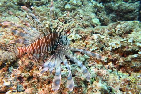 宮古島の海底に住むハナミノカサゴの写真素材 [FYI01173741]