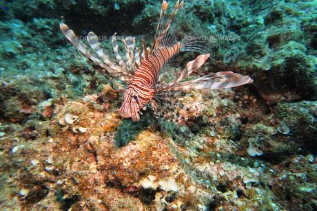 宮古島の海底に住むハナミノカサゴの写真素材 [FYI01173743]