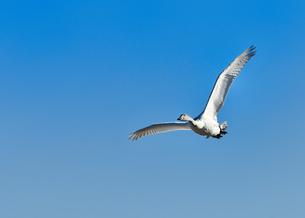 白鳥の飛翔の写真素材 [FYI01173873]