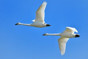 白鳥の飛翔の写真素材 [FYI01173875]