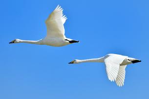 白鳥の飛翔の写真素材 [FYI01173876]