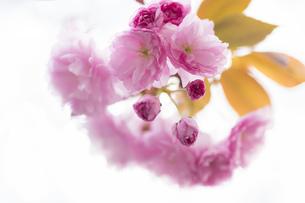 桜 さくら つぼみ 葉 サクラ 花 葉 植物 春の写真素材 [FYI01173912]