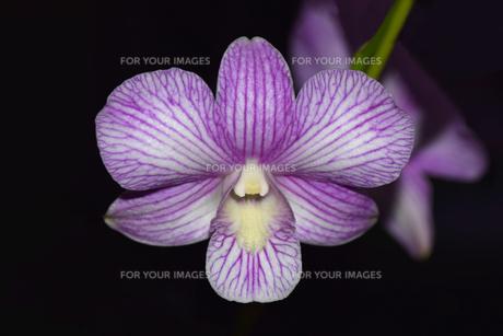 縞模様の胡蝶蘭の写真素材 [FYI01173934]
