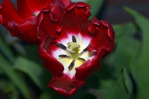 開花前のチューリップの写真素材 [FYI01173935]