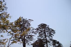 金沢城 青空に鷹の写真素材 [FYI01173948]