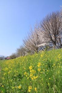 桂川緑地の桜並木の写真素材 [FYI01174071]