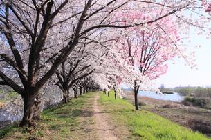 桂川緑地の桜並木の写真素材 [FYI01174076]