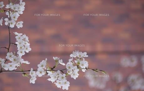 桜の額縁 下の写真素材 [FYI01174100]