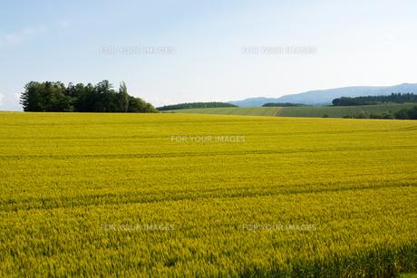 青空とムギ畑の写真素材 [FYI01174113]