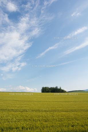 青空とムギ畑の写真素材 [FYI01174114]