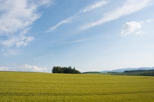 青空とムギ畑の写真素材 [FYI01174115]