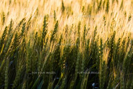 輝くムギの穂の写真素材 [FYI01174117]