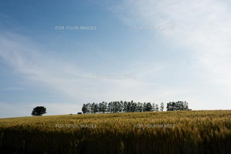 収穫前のムギ畑と青空 美瑛町の写真素材 [FYI01174118]
