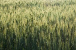 緑のムギの穂の写真素材 [FYI01174120]