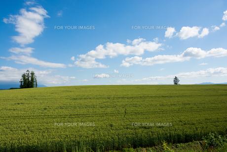 青空と緑のムギ畑の写真素材 [FYI01174121]