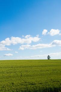 青空と緑のムギ畑の写真素材 [FYI01174122]