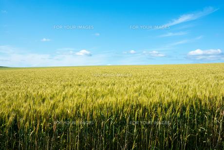 青空とムギ畑の写真素材 [FYI01174123]
