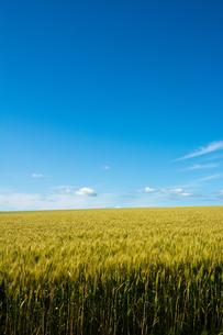 青空とムギ畑の写真素材 [FYI01174124]