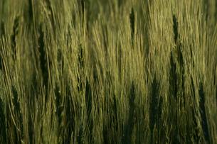 緑のムギの穂の写真素材 [FYI01174128]