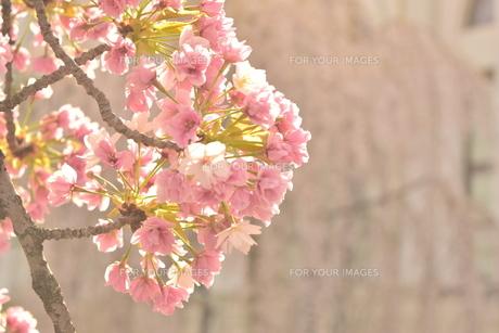 照らされる桜の写真素材 [FYI01174792]