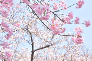 桜と青空の写真素材 [FYI01174794]