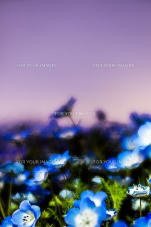 ネモフィラ 花 植物 自然の写真素材 [FYI01175247]