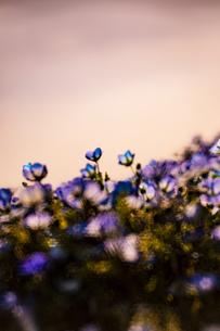 ネモフィラ 自然 植物 花の写真素材 [FYI01175248]