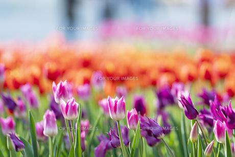 チューリップ 花 植物の写真素材 [FYI01175257]