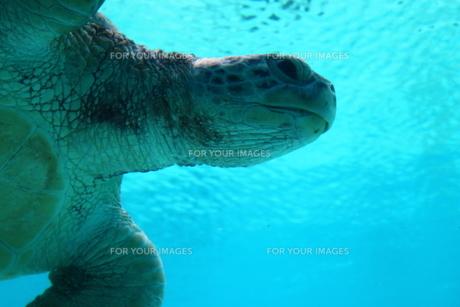 水中を泳ぐ亀の写真素材 [FYI01175265]