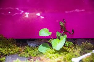 壁を登るカエルの写真素材 [FYI01175281]