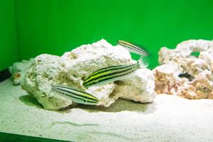 縞模様の魚とサンゴの写真素材 [FYI01175283]