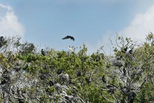 川鵜とアオサギの巣の写真素材 [FYI01175344]
