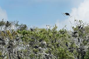川鵜とアオサギの巣の写真素材 [FYI01175347]