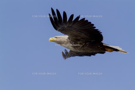 空を掴むオジロワシの写真素材 [FYI01175430]
