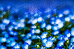 ネモフィラ 花 植物 自然の写真素材 [FYI01175440]