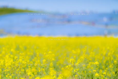 菜の花畑 風景 背景 自然 植物の写真素材 [FYI01175478]