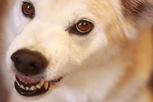 歯を剥いて怒る犬の写真素材 [FYI01175483]