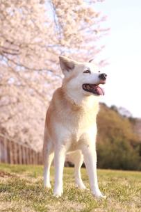 笑顔で佇む犬と満開の桜の写真素材 [FYI01175486]