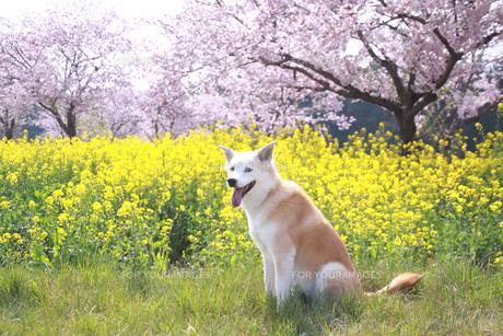 満開の桜と菜の花と笑顔の犬の写真素材 [FYI01175489]