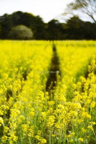 菜の花畑 風景 背景 自然の写真素材 [FYI01175569]