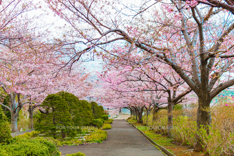 桜並木と海 北海道小樽市の写真素材 [FYI01175646]