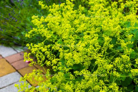 オミナエシ(女郎花)の写真素材 [FYI01175674]