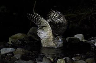 翼を広げるシマフクロウの写真素材 [FYI01175692]