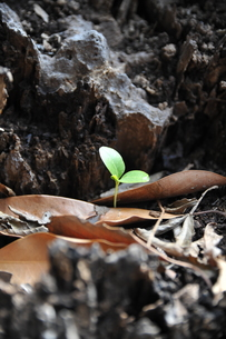 新芽の写真素材 [FYI01175702]