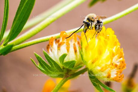 ミツバチと花の写真素材 [FYI01175744]