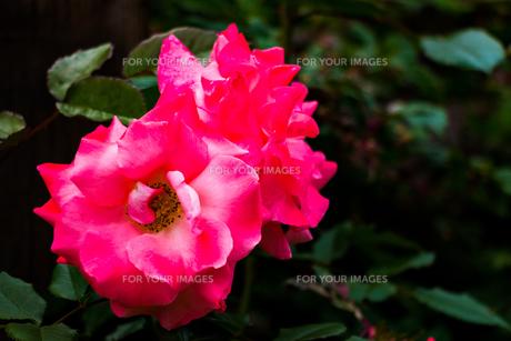 ピンクのバラの写真素材 [FYI01175746]